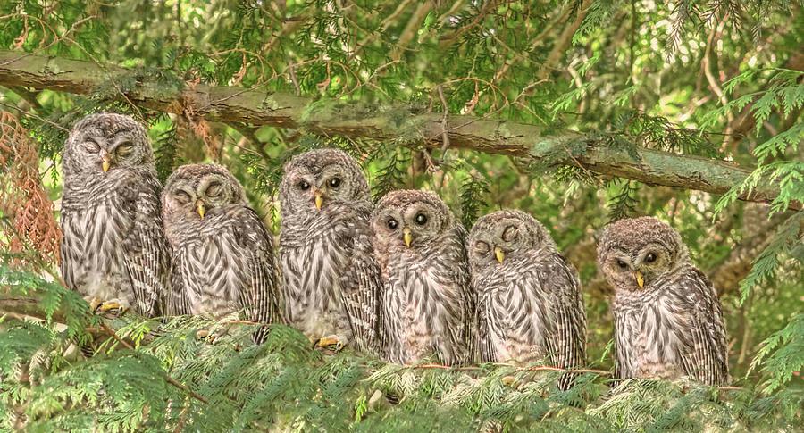 Barred Owlets Nursery Photograph