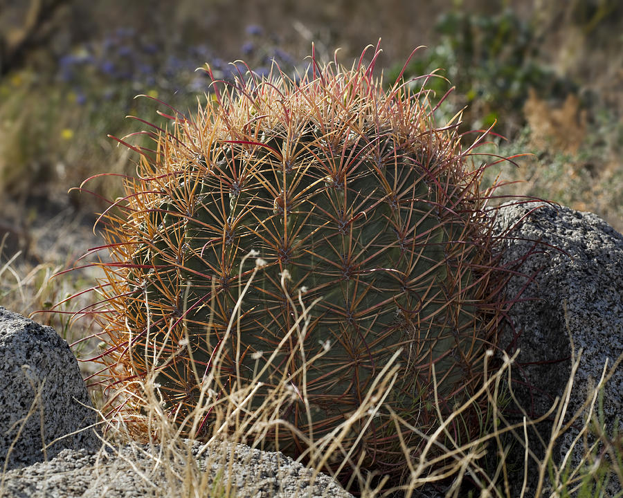 Barrel Cactus Photograph - Barrel Cactus by Kelley King