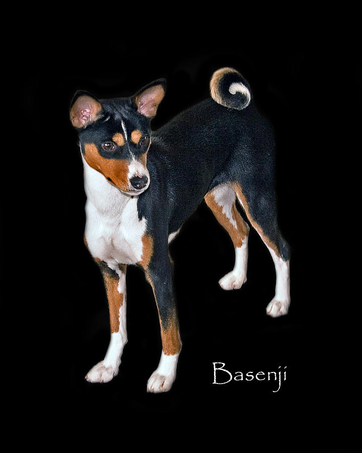 Basenji Photograph - Basenji by Larry Linton