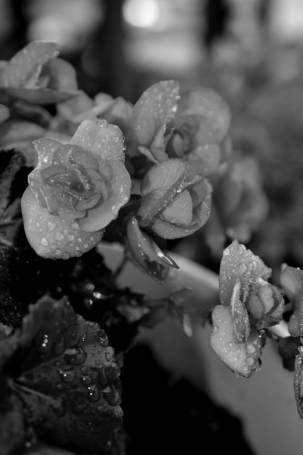 Gardens Photograph - Basket Of Begonias by Paul Gavin