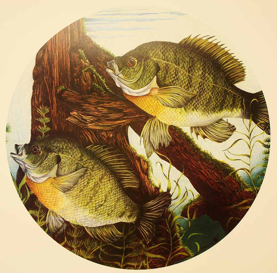 Fishing Drawing - Basking Bluegills by Bruce Bley