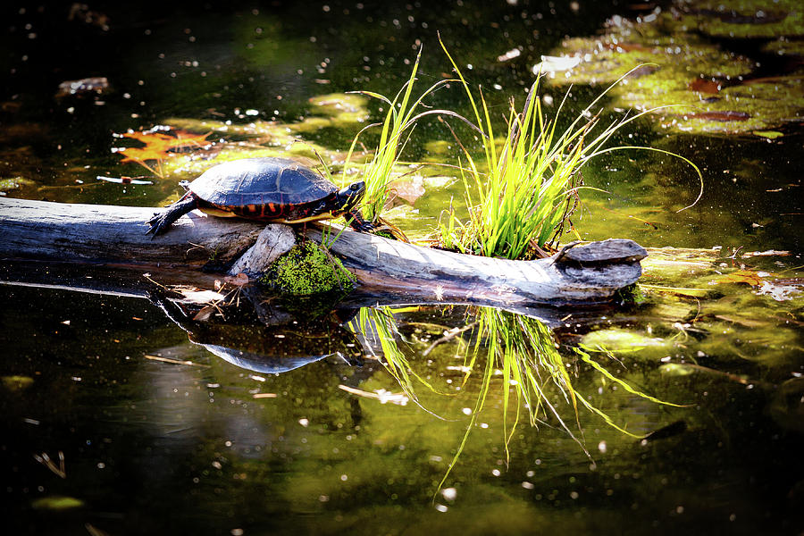 Basking Turtle Photograph