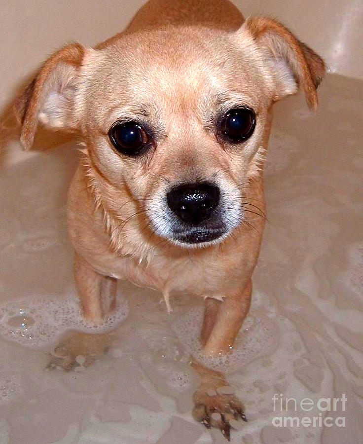 Chihuahua Photograph - Bath by Brandon Ramquist