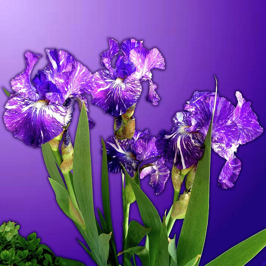 Batik Photograph - Batik Irises by Tara Hutton
