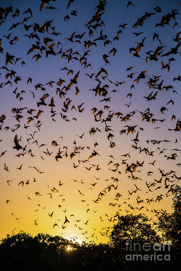 Bats Photograph - Bats At Bracken Cave by Michael Tidwell