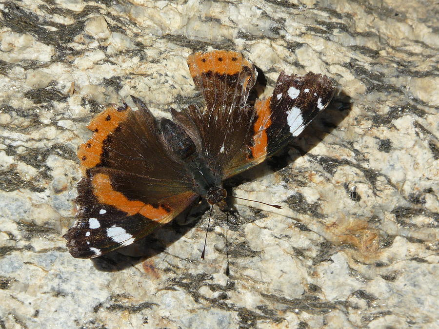 Butterfly Photograph - Battered Butterfly by Valerie Ornstein