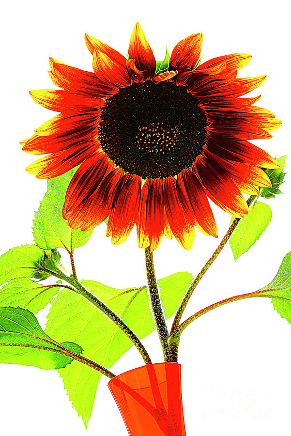 Be Happy As Sunflower. Photograph