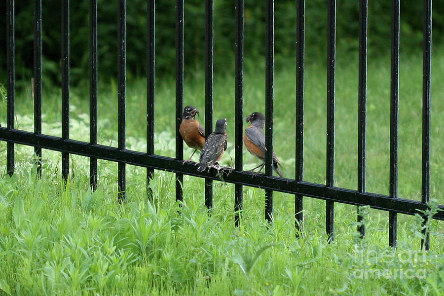 Baby Robin Photograph - Be There by Stephen Bloedow