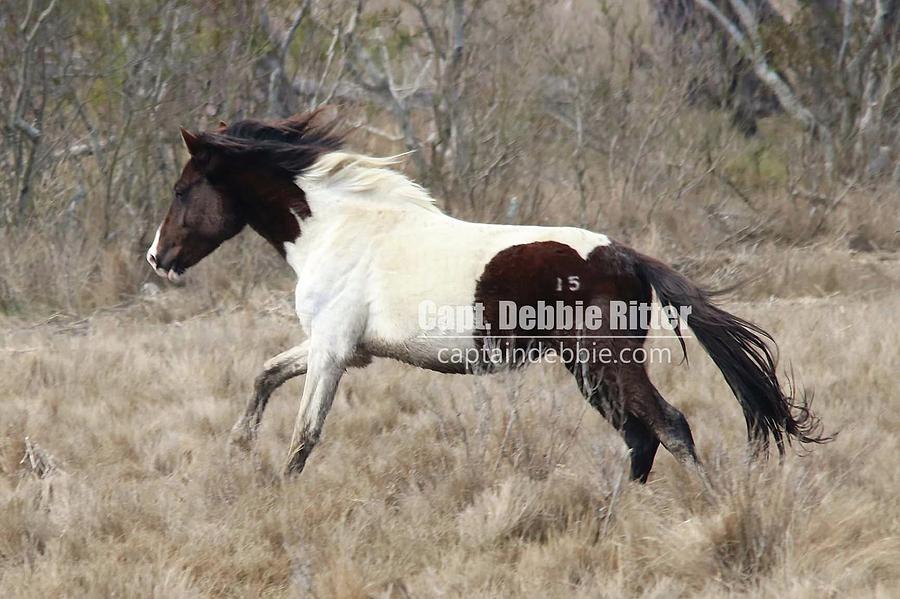 Wild Stallion Photograph - Beach Boy 3846 by Captain Debbie Ritter
