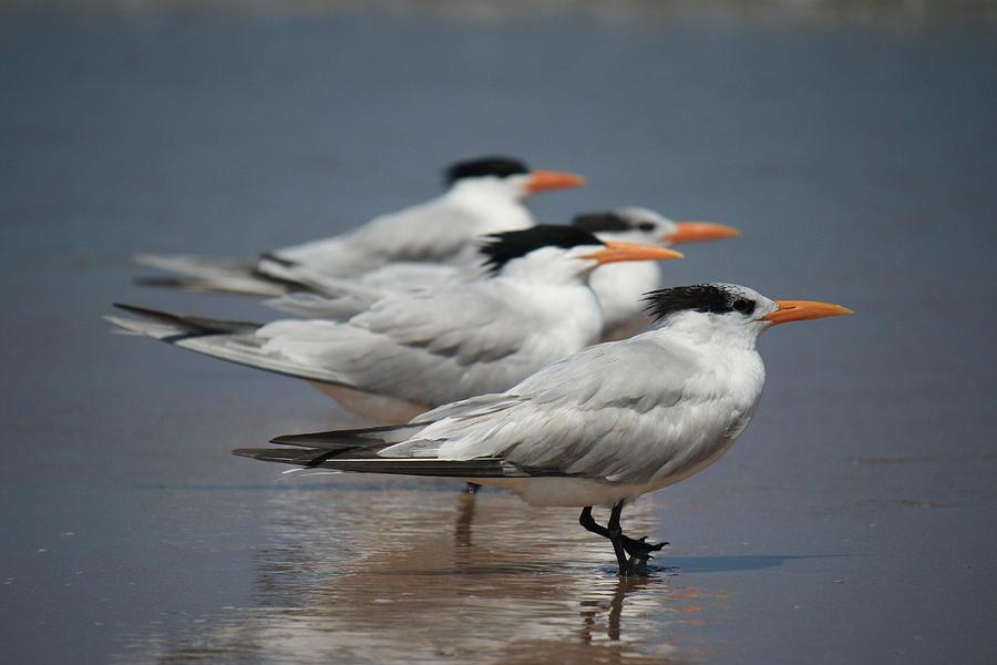 Beach Birds Photograph - Beach Buds by Mandy Shupp