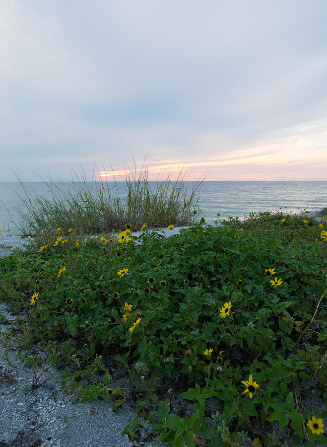Beach Daisies Photograph