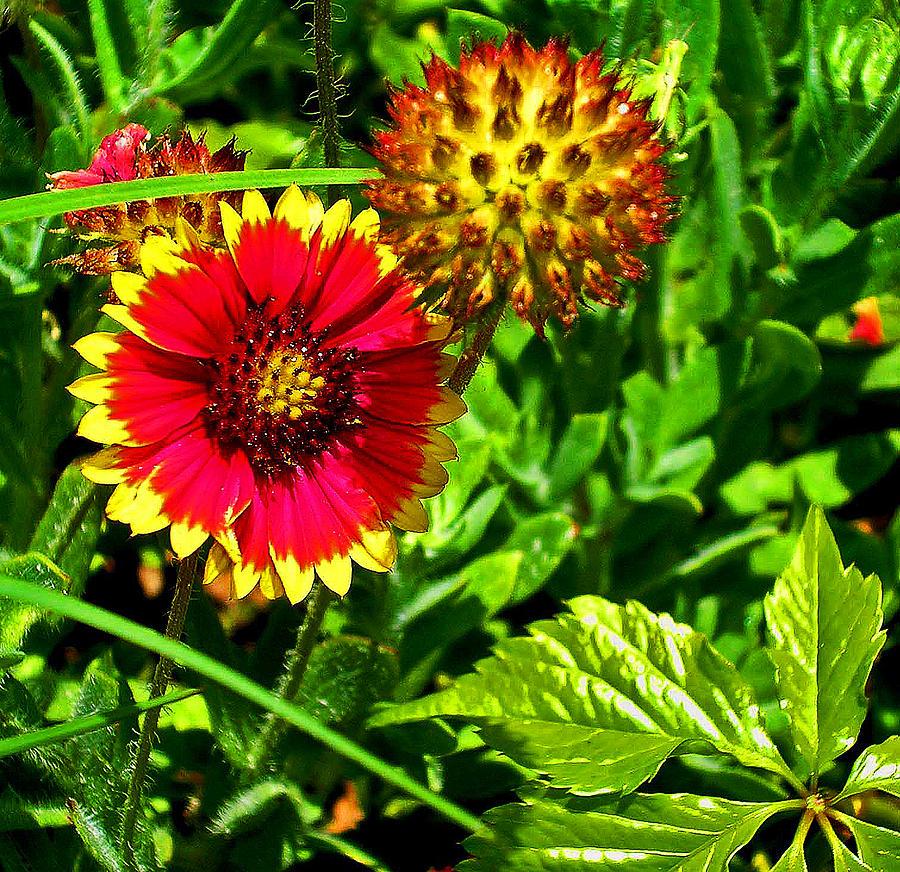 Flowers Photograph - Beach Daisy by Elizabeth Hoskinson