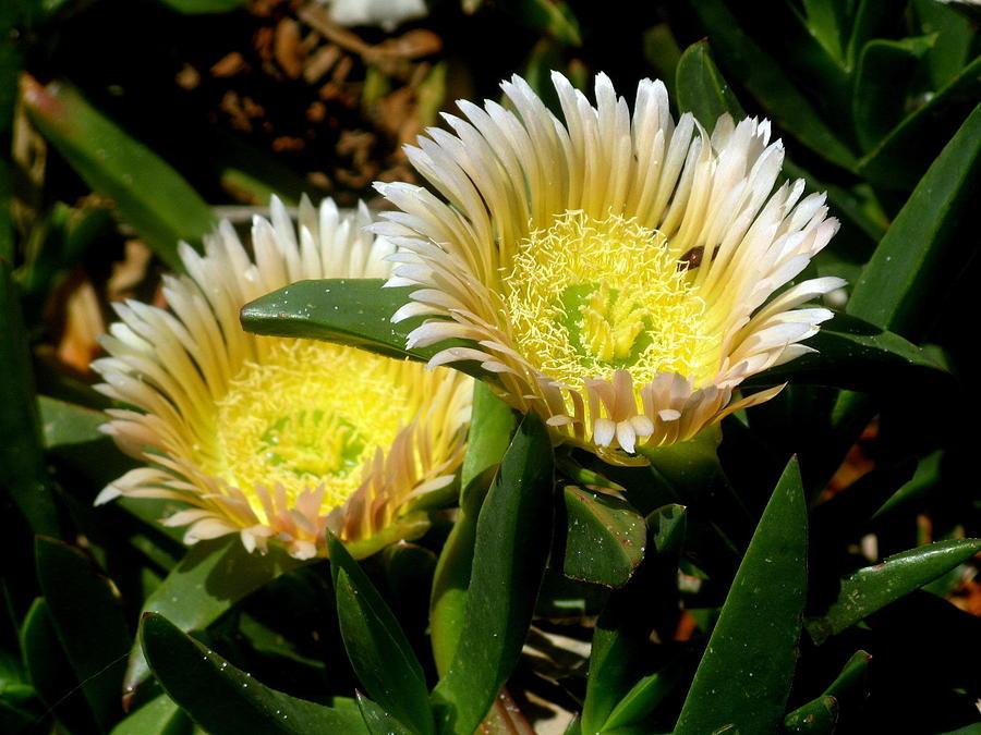 Beach Flower Photograph by Joyce Woodhouse