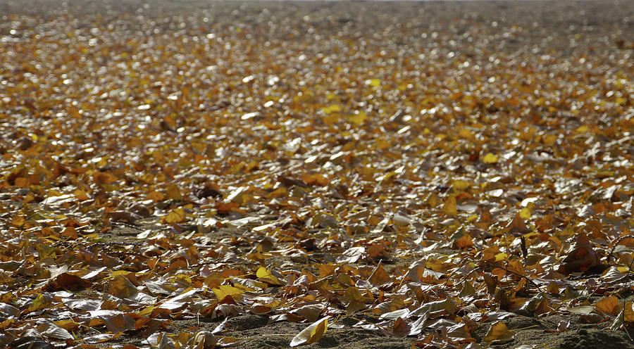 Nature Photograph - Beach Of Autumn Leaves by Trance Blackman