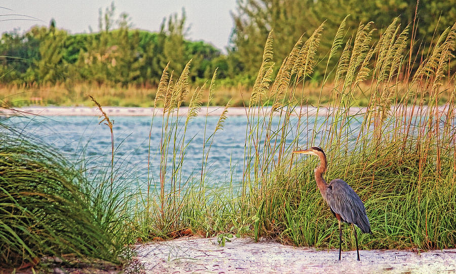 Great Blue Heron Photograph - Beach Patrol by HH Photography of Florida