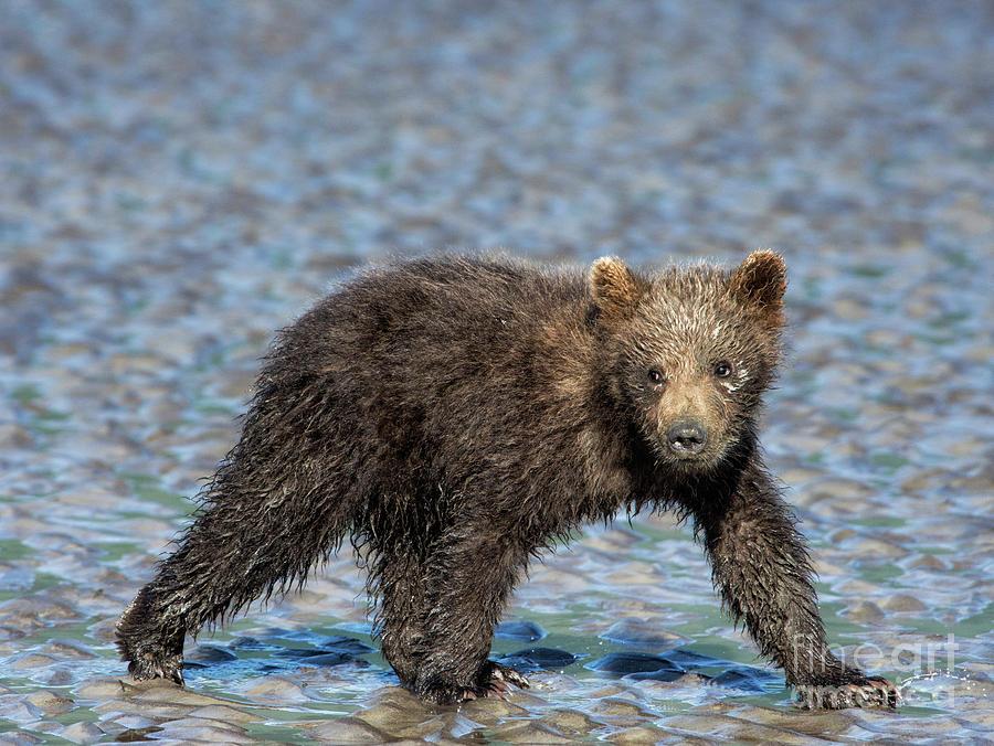 Grizzly Bear Photograph - Beach Stroll by Claudia Kuhn