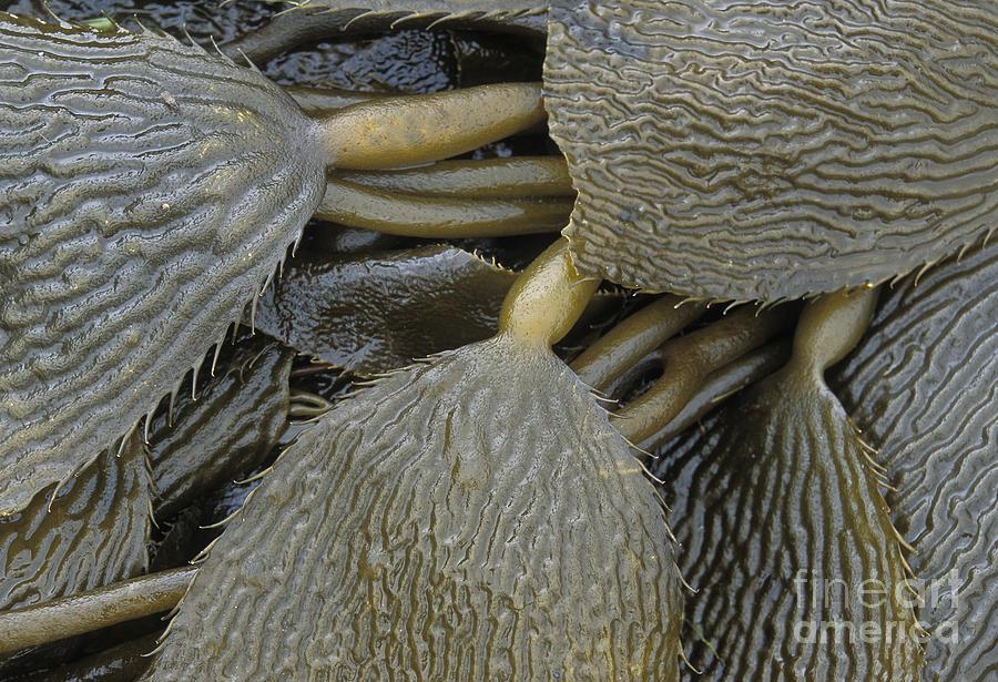 Tide Photograph - Beached Kelp by Tim Grams