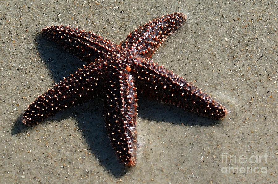 Beached Painting - Beached Star Fish by Sherry Vance