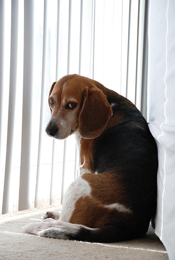 Beagle Photograph - Beagle Attitude by Jennifer Ancker