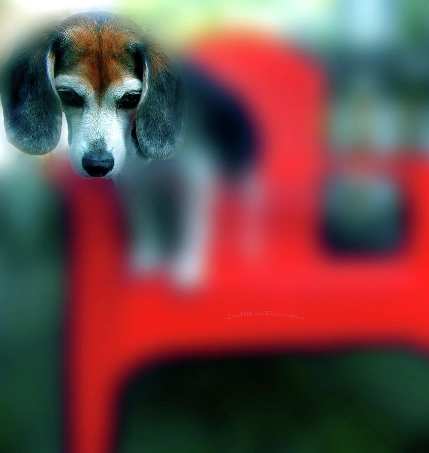 Posters Digital Art - Beagle Beba Portrait by Miss Pet Sitter