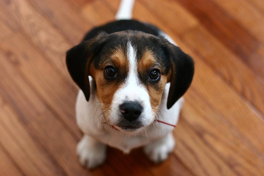 Beagle Digital Art - Beagle by Dorothy Binder