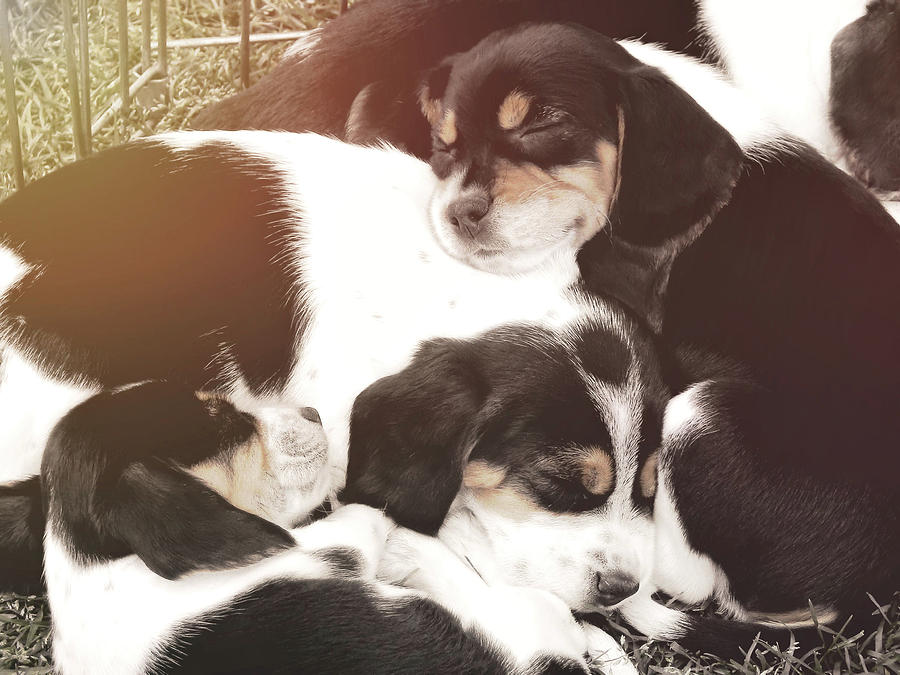 Dog Photograph - Beagle Pile by JAMART Photography