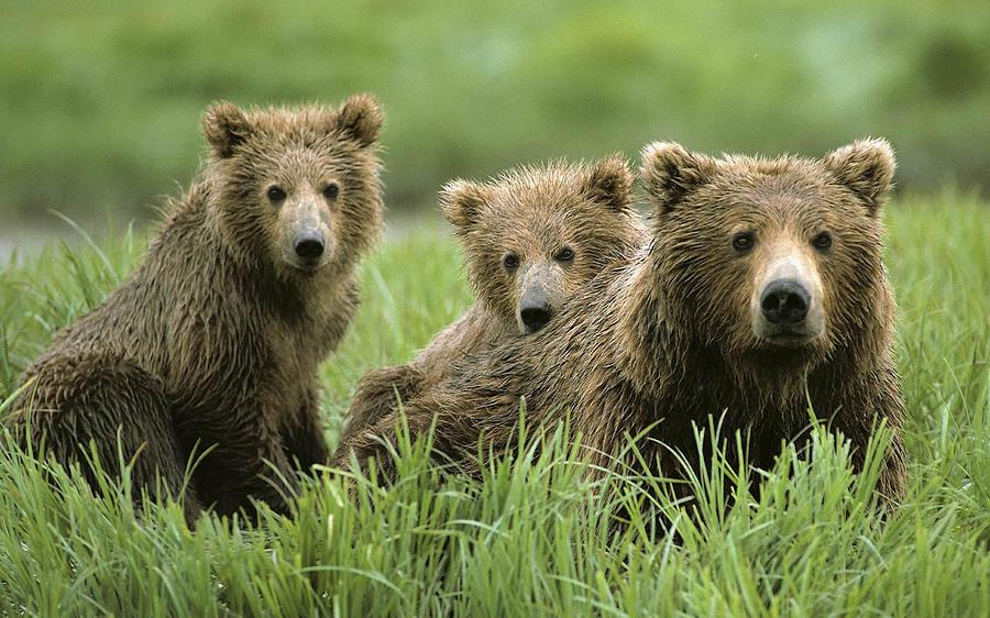 Bear Digital Art - Bear by Dorothy Binder