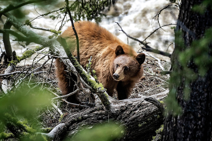Bear in Trees by Scott Read
