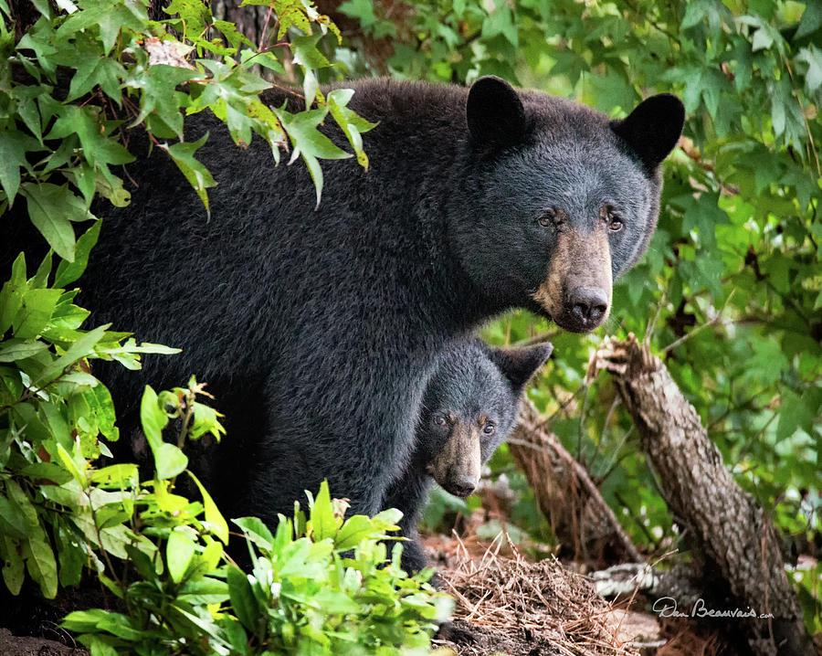 Bear Mom And Cub 9539 Photograph