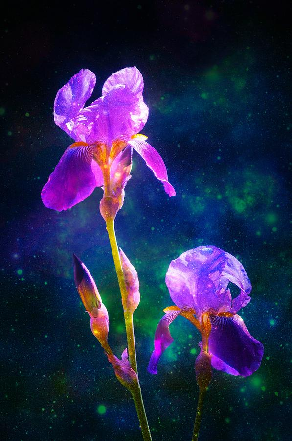 Bearded Iris 3 by Sherri Meyer