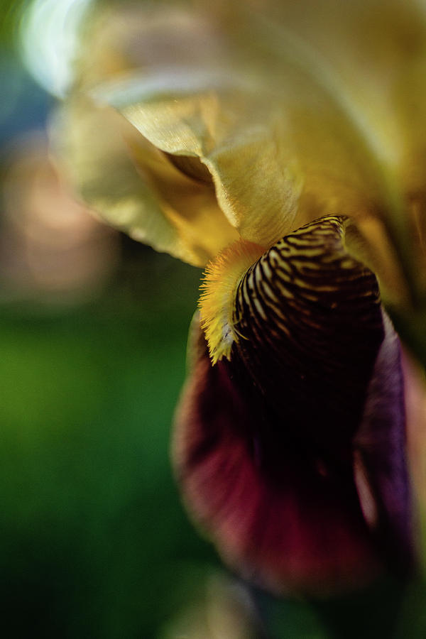 Bearded Iris by Pamela Taylor