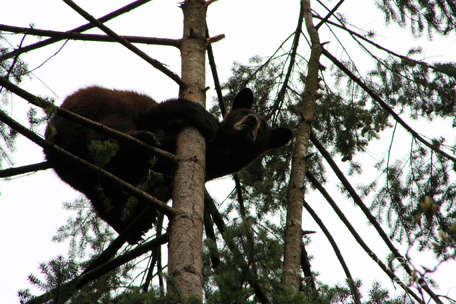 Bear Photograph - Bearly Hanging On by Nick Gustafson