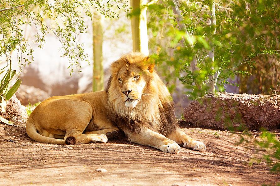 beautiful-african-lion-laying-in-jungle-susan-schmitz.jpg