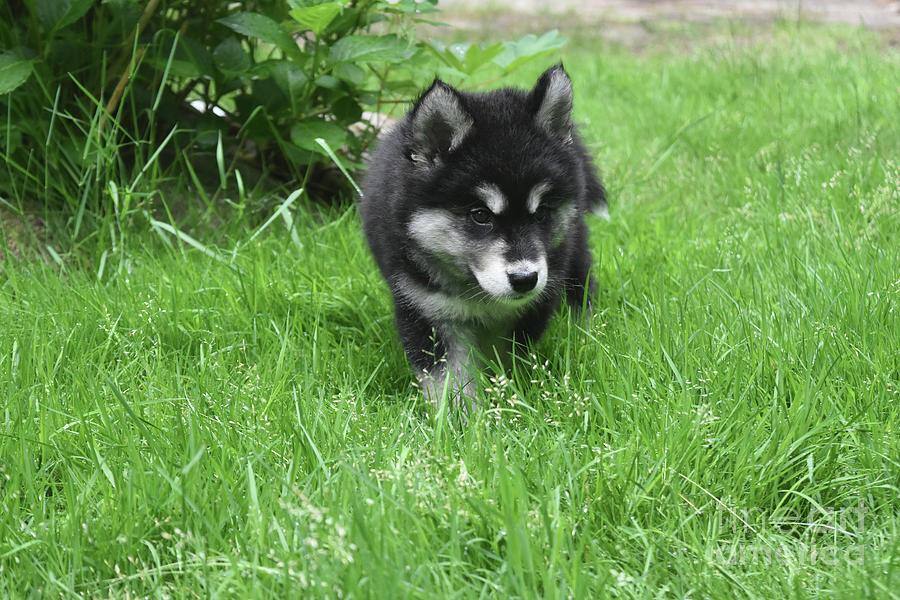 Dog Photograph - Beautiful Alusky Puppy Dog Walking Through Thick Green Grass by DejaVu Designs