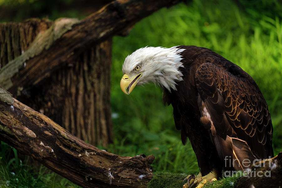Beautiful bald eagle looking down by Sam Rino