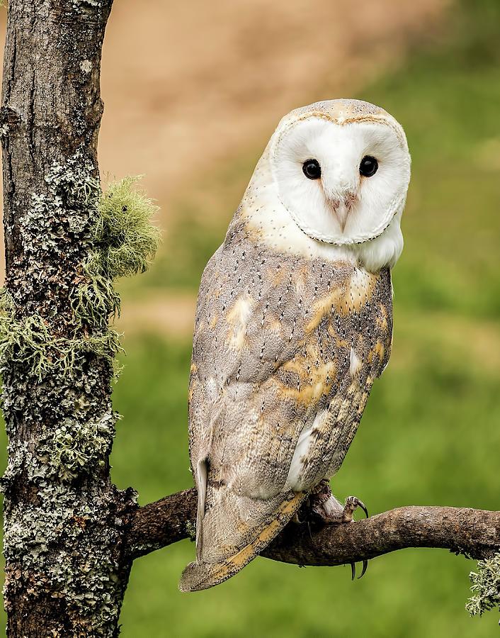 Beautiful Barn Owl Photograph By Pat Eisenberger