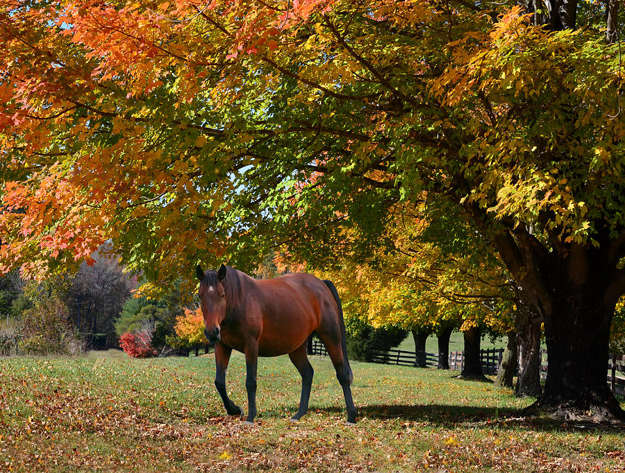 Bay Horse Photograph - Beautiful Bay Horse In Fall by Sandi OReilly