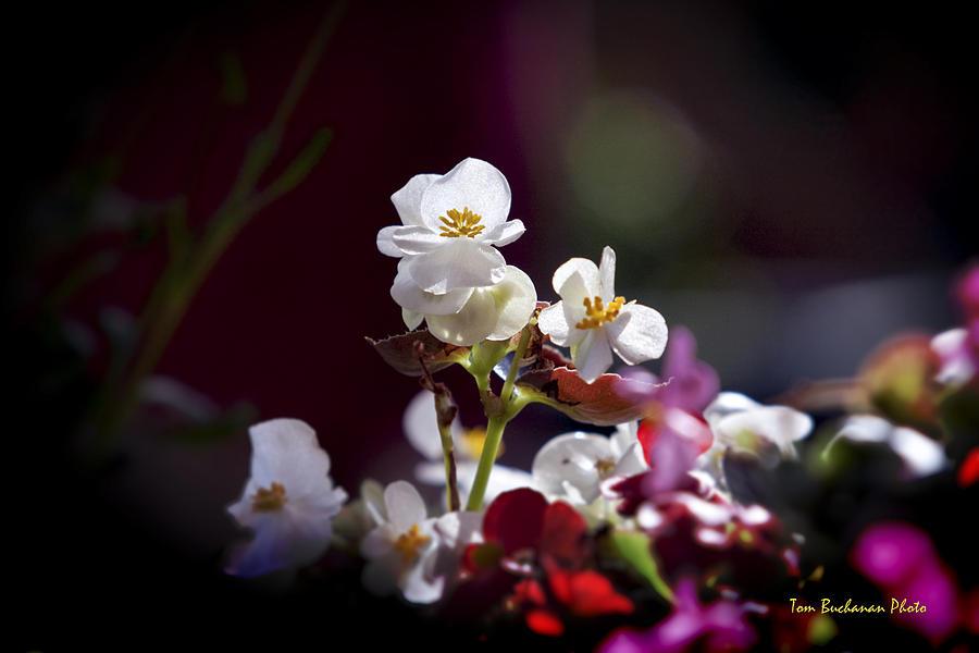 Begonia Photograph - Beautiful Begonia by Tom Buchanan