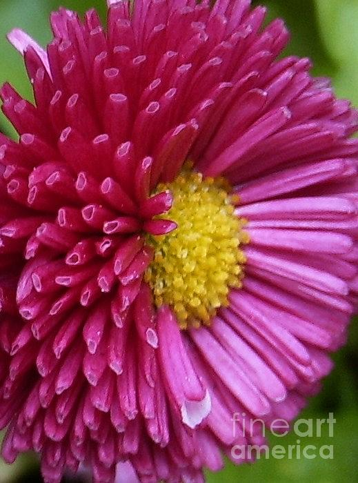 Bellis Photograph - Beautiful Bellis by Deborah Brewer