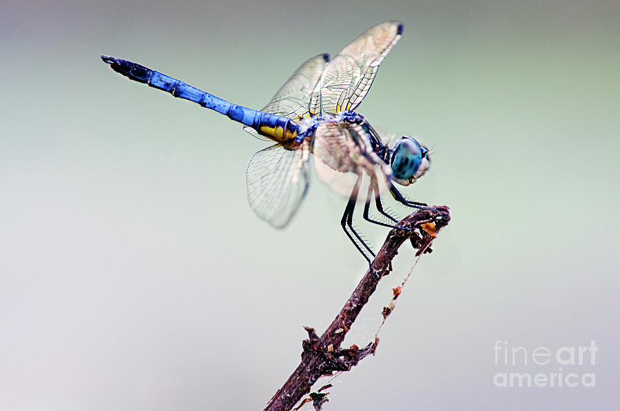 Beautiful Blue Dasher  by Spade Photo