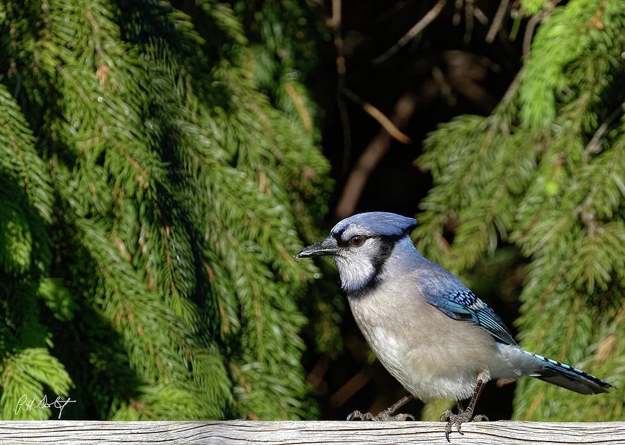 Backyard Photograph - Beautiful Blue Jay by Phill Doherty