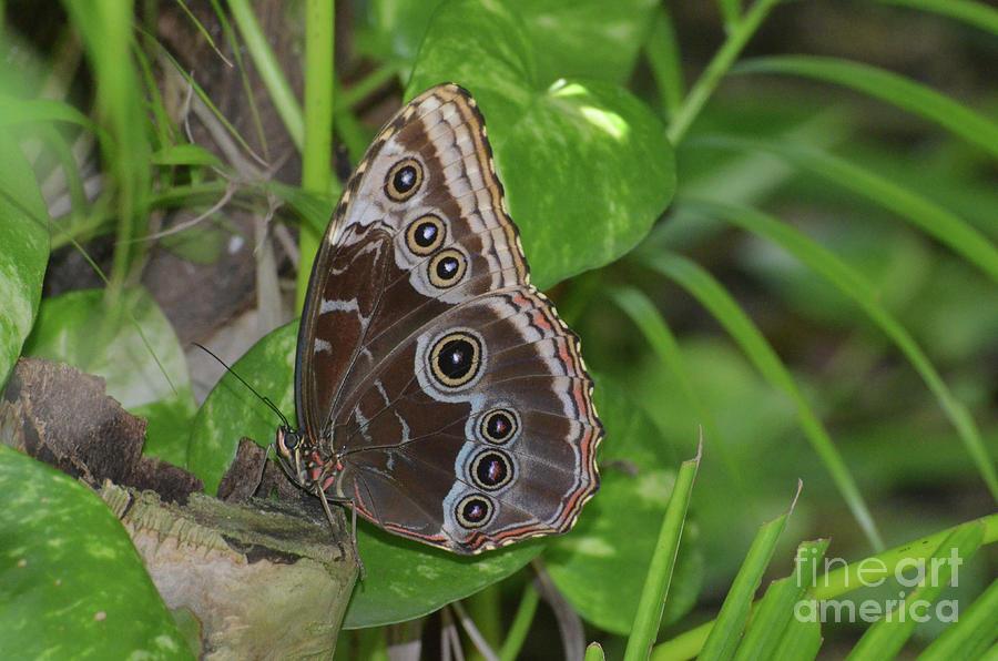 Blue Morpho Photograph - Beautiful Blue Morpho Butterfly Resting In A Garden  by DejaVu Designs