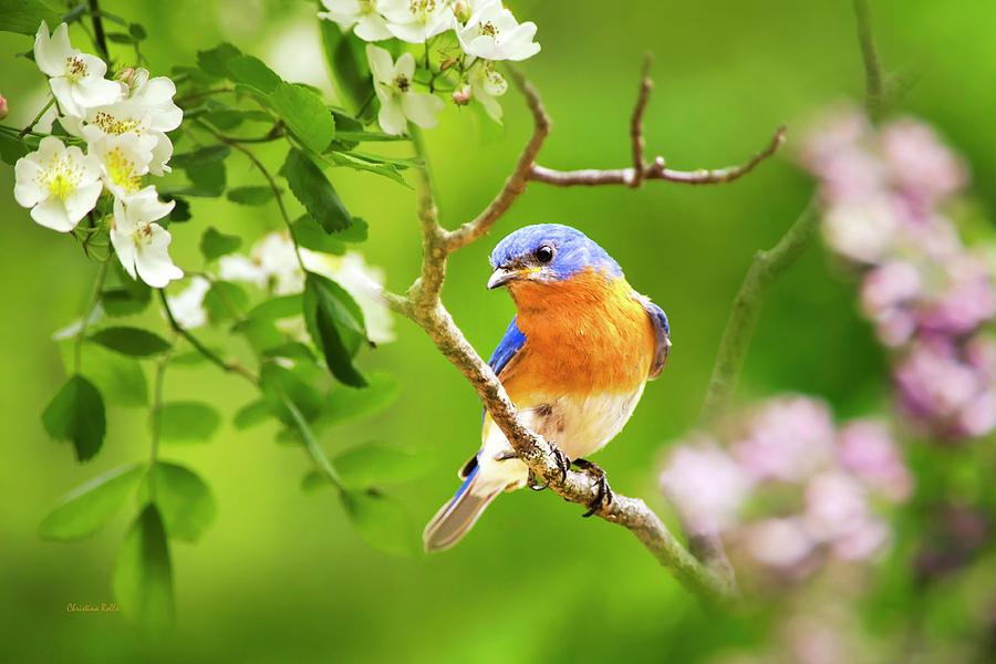 Bluebird Photograph - Beautiful Bluebird by Christina Rollo