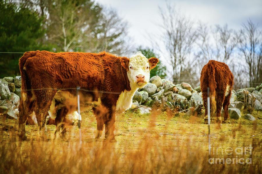 Bovine Photograph - Beautiful Bovine 2 by Deborah Brown