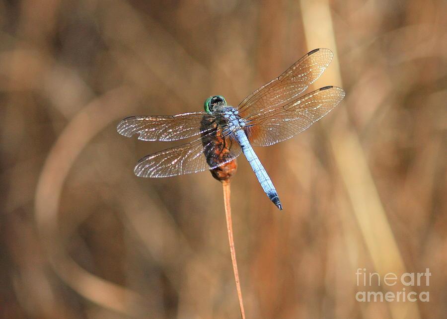 Dragonfly Photograph - Beautiful Broken Wing by Carol Groenen