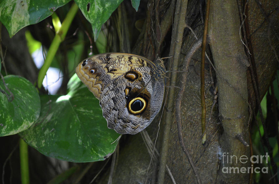 Blue Morpho Photograph - Beautiful Brown Morpho Butterfly In A Lush Garden  by DejaVu Designs