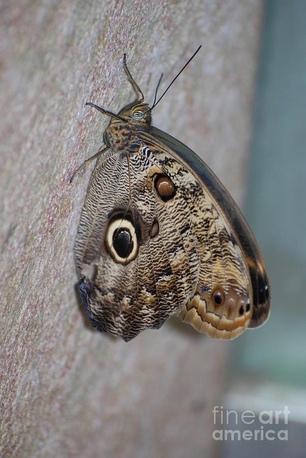 Blue Morpho Photograph - Beautiful Brown Morpho Butterfly Resting In A Butterfly Garden  by DejaVu Designs