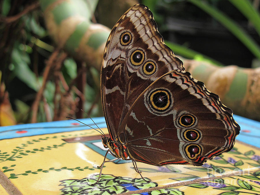 Beautiful Buckeye Butterfly by Kelly Holm