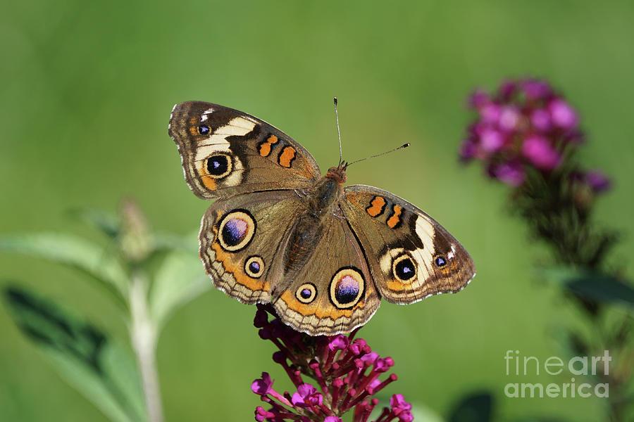 Beautiful Buckeye Butterfly by Robert E Alter Reflections of Infinity