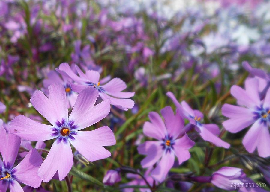 Beautiful Creeping Purple Phlox by Kristin Aquariann